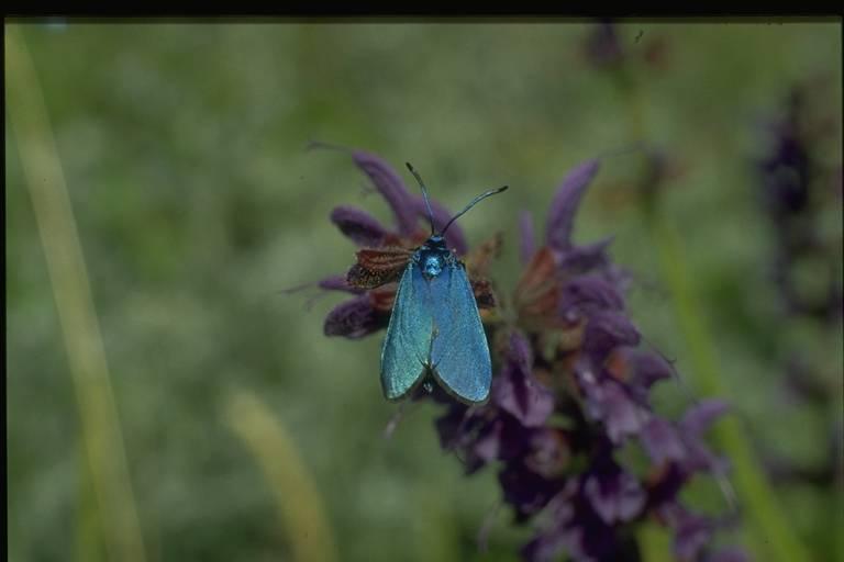 Zygène papillon