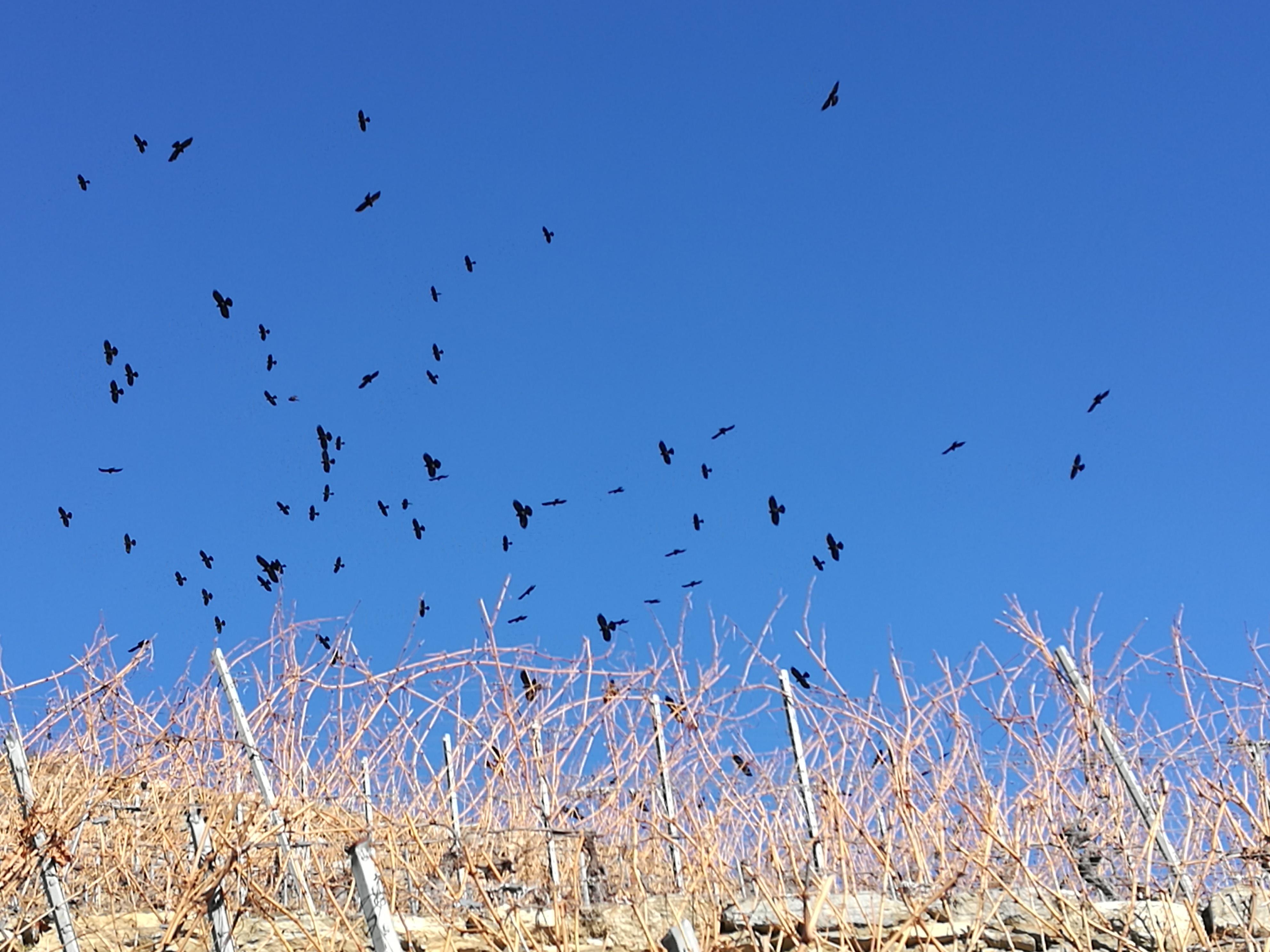 vol de choucas février