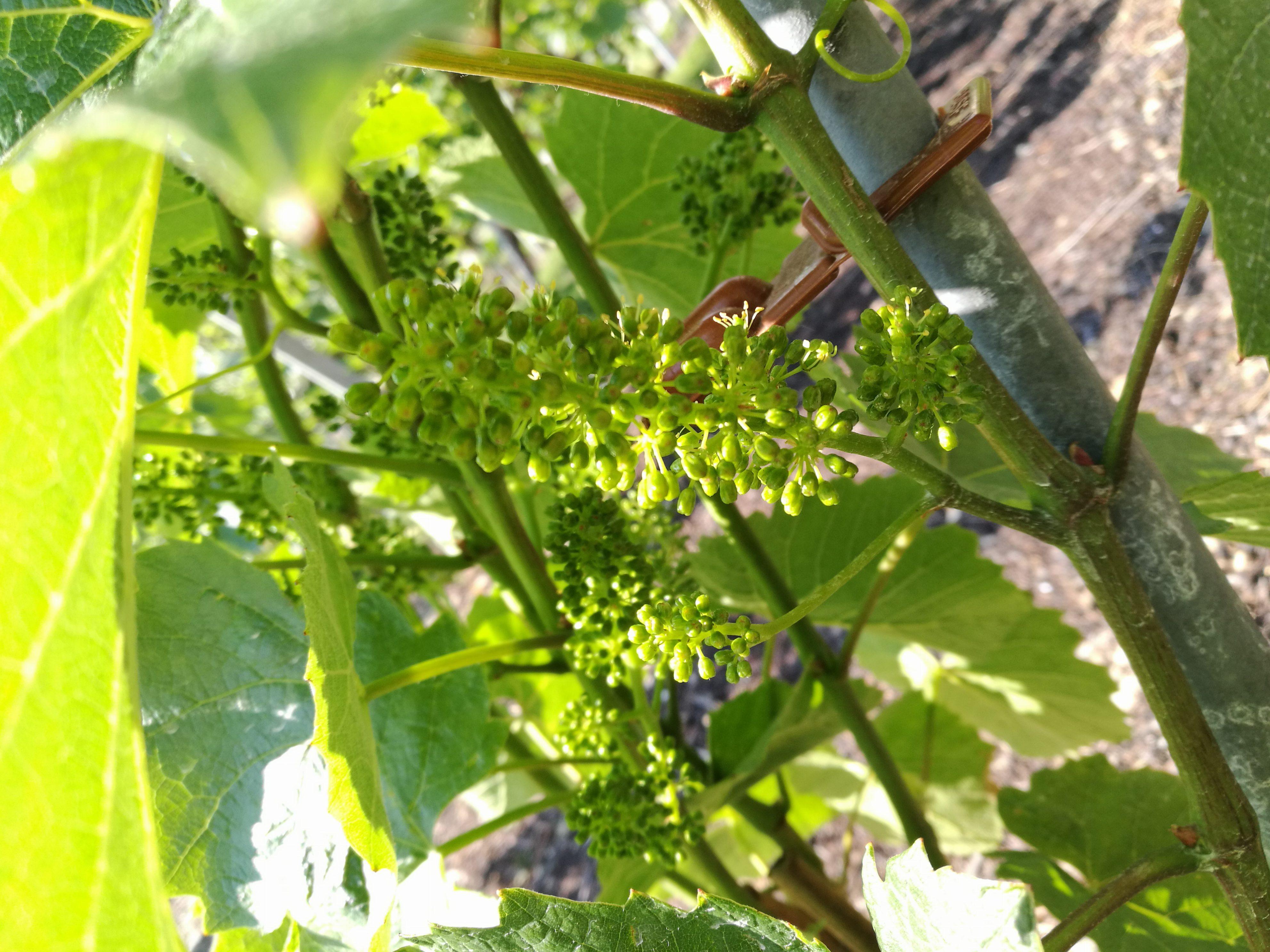 vigne en fleur