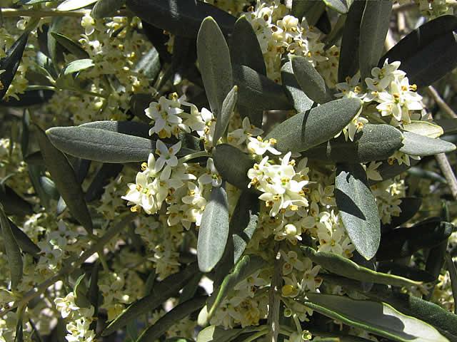 fleurs d'olivier